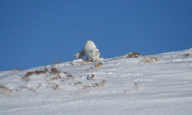 Polarfuch Helags Ljungdalsfjällen